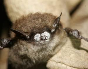 dec 2995795410-diseased-bat