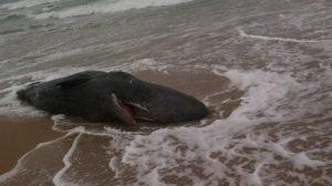 dec 5aust-sperm-whale-carcass