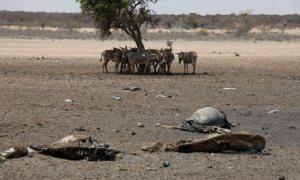 nov 12carcasses-of-cattle-kille-007