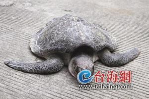 nov 153840xiamen-olive-ridley-sea-turtle