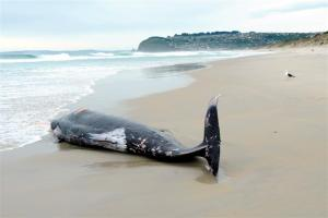oct 13an_adult_female_strap_toothed_whale_lies_dead_on_s_5077f19441