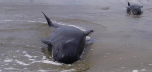 oct 16pilot-whale-stranded