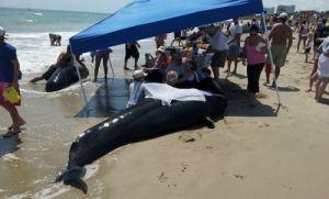 oct 16pilot_whales_avalonbeach
