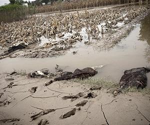 oct 17pakistan-flood-dead-livestock