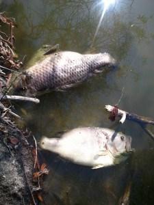 oct 2 roberts-lake-dead-bass-225x300