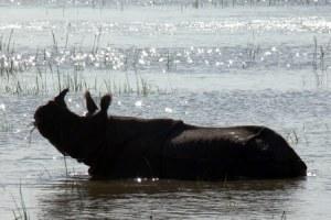 oct 3kaziranga-flood-2012-rathin-barman-rhino-under-water