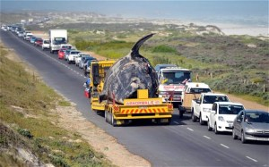 oct 9dead-whales-discovered-south_africa3