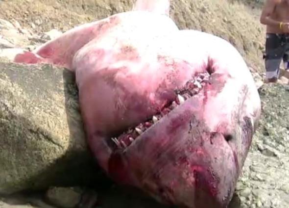 sept 2 shark