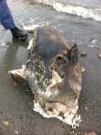 sept 4 dead-seal-mattapoisett