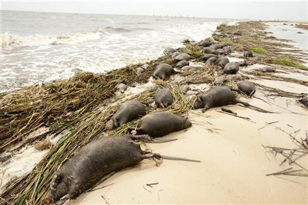 Nutria rodents pile up along the shore after Hurricane Isaac went through Waveland