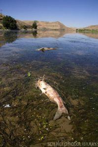 Dead Fish on the Snake River, Idaho