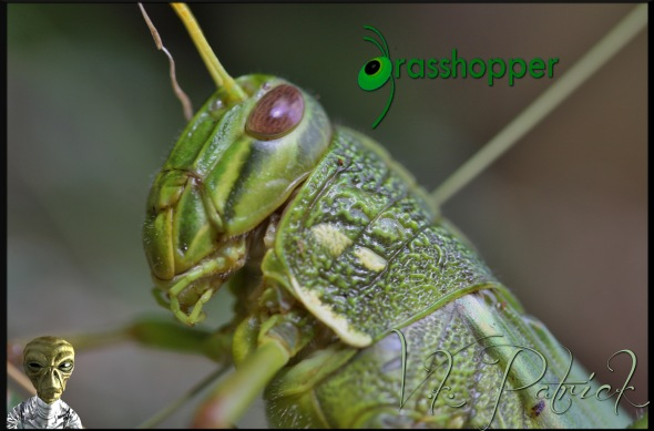 Grasshopper-Band-Winged-x